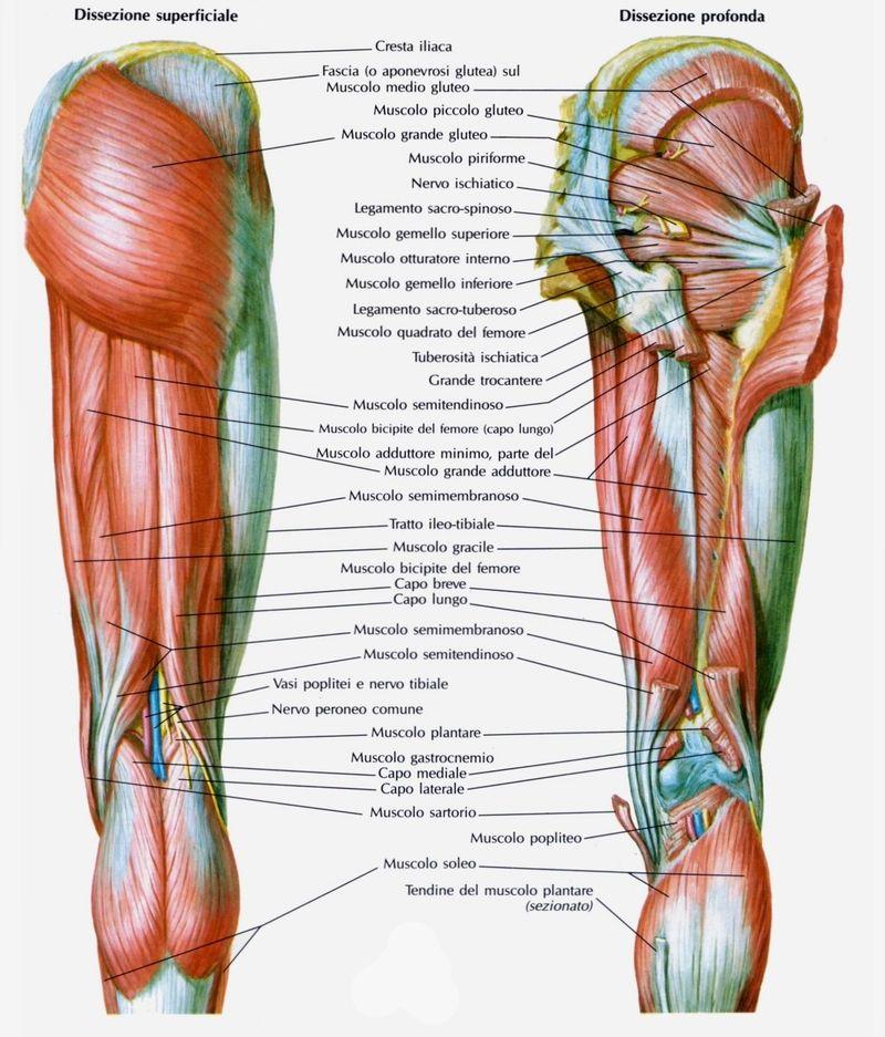 anatomia dei muscoli della coscia