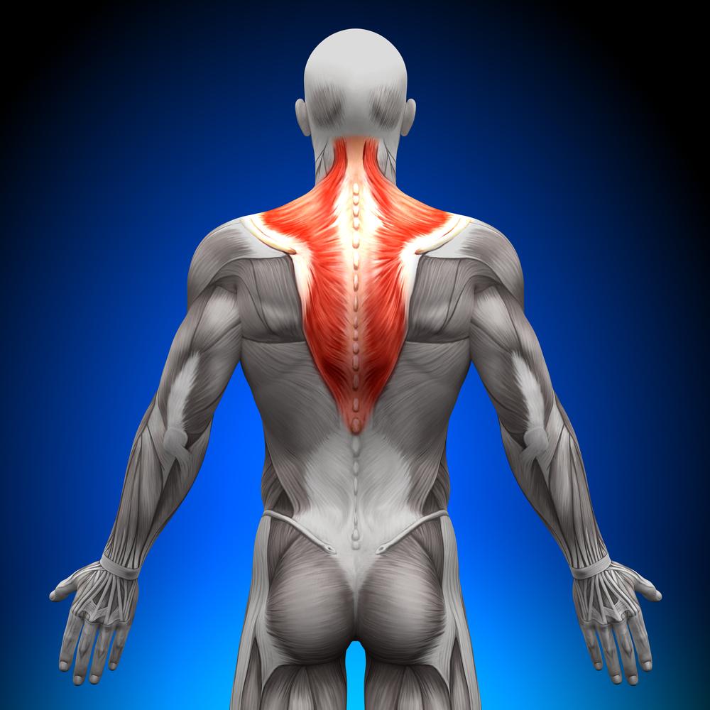 Trapezio Anatomia - Muscoli carenti come allenarli bodybuilding