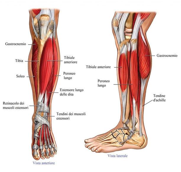 Anatomia muscoli polpacci - allenamento polpacci carenti bodybuilding